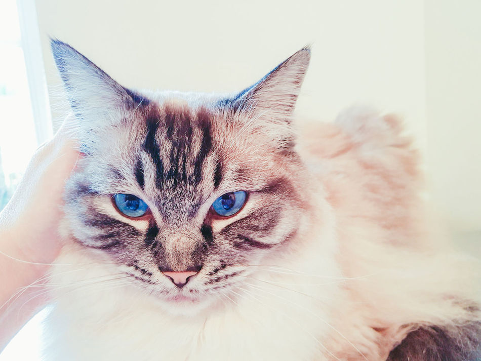 PORTRAIT OF A FULL PEDIGREE RAGDOLL, SEAL LYNX TABBY CAT. Domestic Cat Looking At Camera Portrait Close-up No People Feline Indoors  Pets Animal Themes Samsung Galaxy S7 Edge EyeEmNewHere Stroking Lookingsharp Pedigreecats Blue Eyes Closeup-potrait Stunning Animal Pet Photography  Cats Lovers  Catsoftheworld Ragdoll Faces Ragdoll Cat Cute Beautiful ♥ Bright Eyes Longhaired Cats