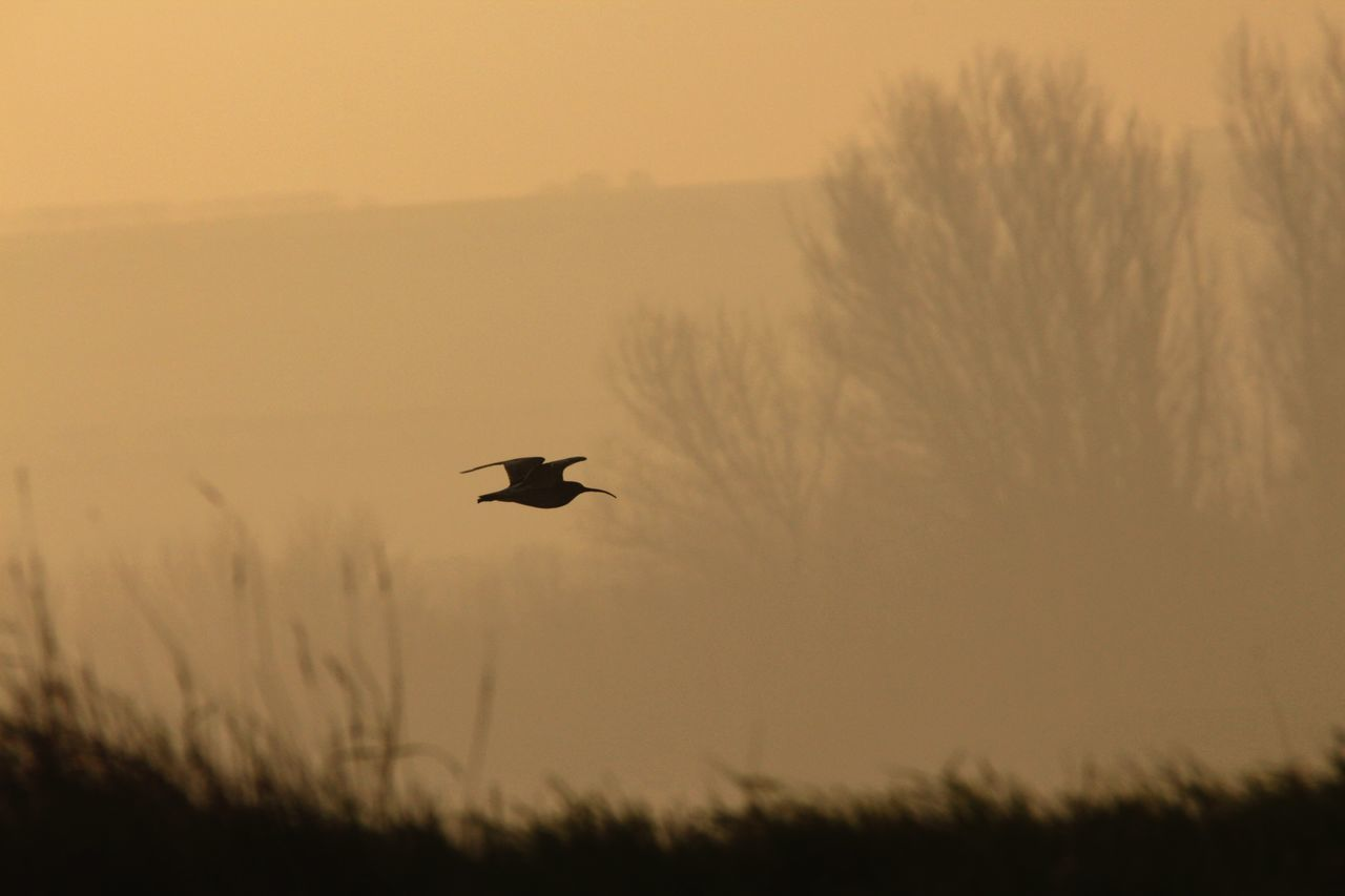 Curlew flying inland at dawn. Flying Bird Beauty In Nature Nature Tranquility RSPB Titchwell Marsh No People Norfolk Animals In The Wild Dawn Canonphotography Spread Wings Coast Wader Curlew In Flight Wildlife Photography