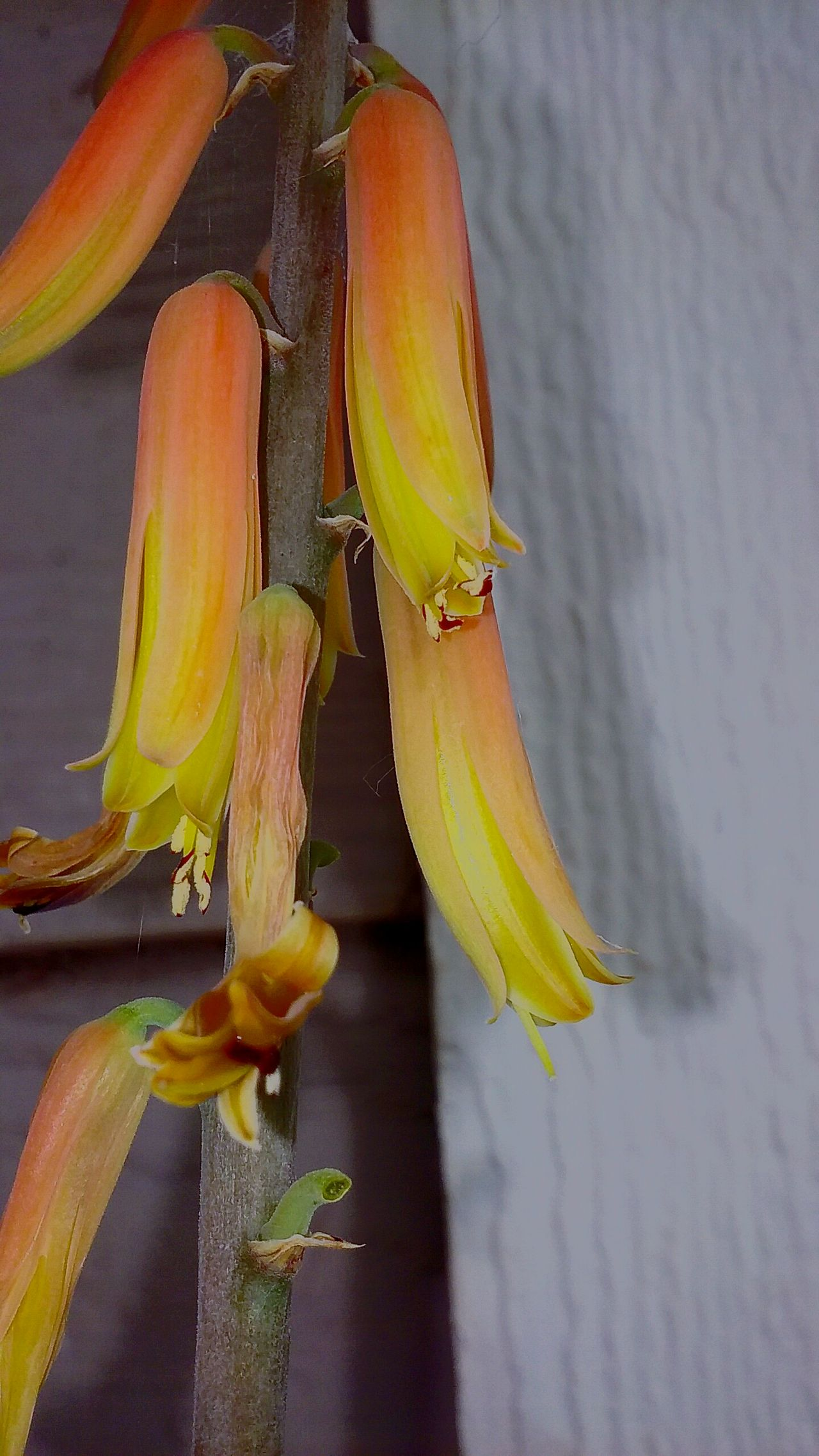 43 Golden Moments Gold Aloe Vera Flower Taking Photos Check This Out Hello World Enjoying Life Fragility Selective Focus Plant Beauty In Nature Showcase:July Growth Aloe Vera Bloom Outdoors Nature Close-up Taking Photos Showcase July