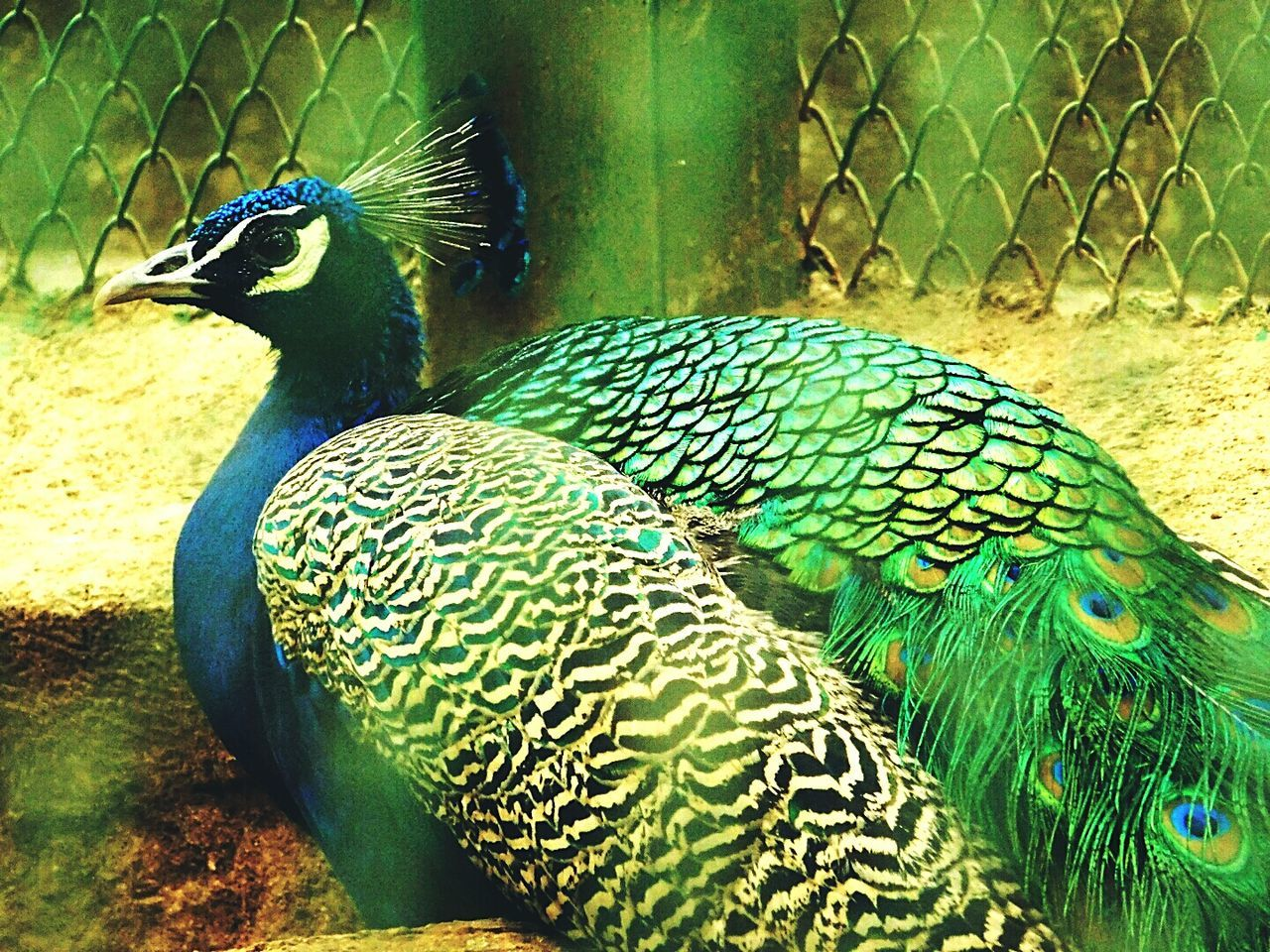Peacock Bird Multi Colored Beauty In Nature Caged Feeling Sad Sadness😢 Looking At Camera Looking For Freedom Alone Wildlife Photography