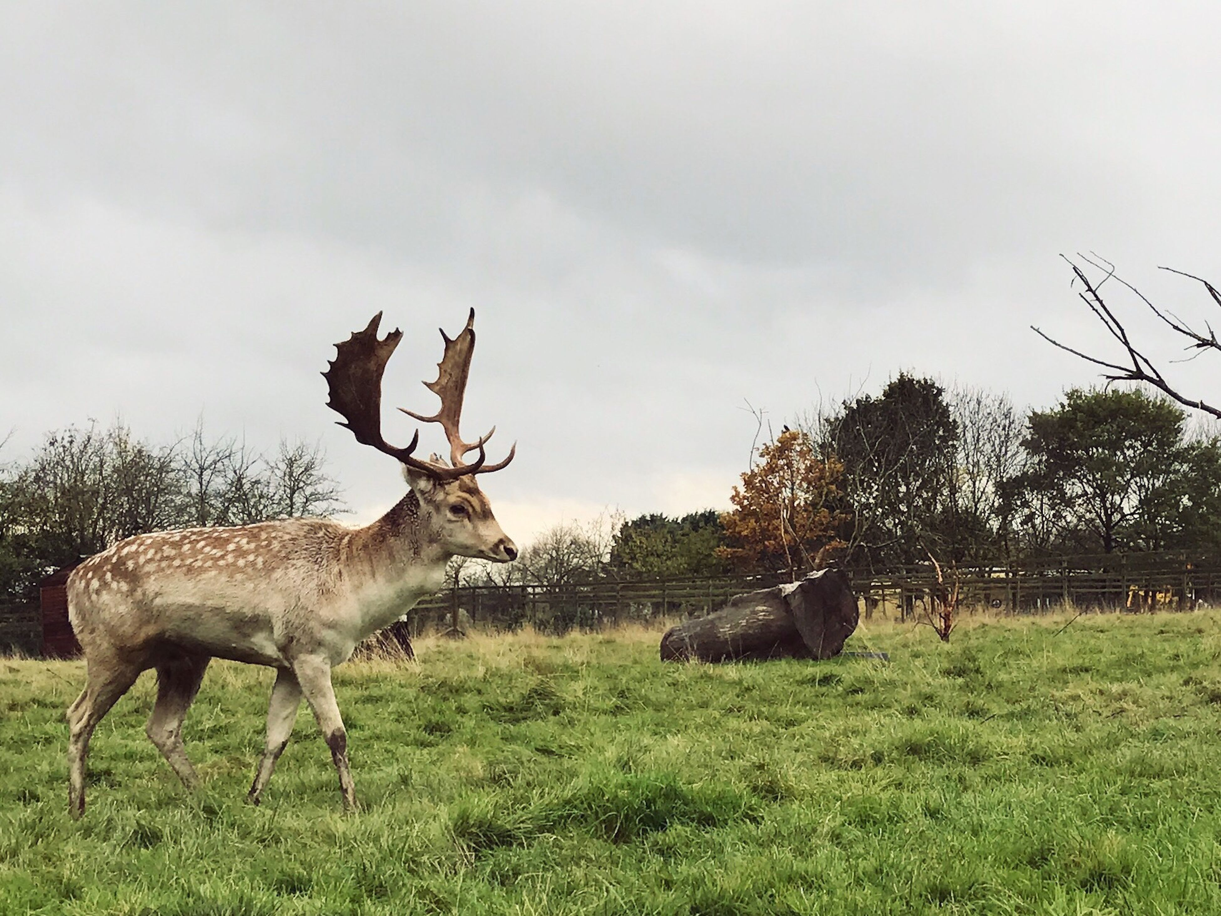 grass, animal themes, animals in the wild, antler, sky, no people, giraffe, field, deer, nature, tree, outdoors, mammal, animal wildlife, cloud - sky, reindeer, day, safari animals, stag, beauty in nature, landscape