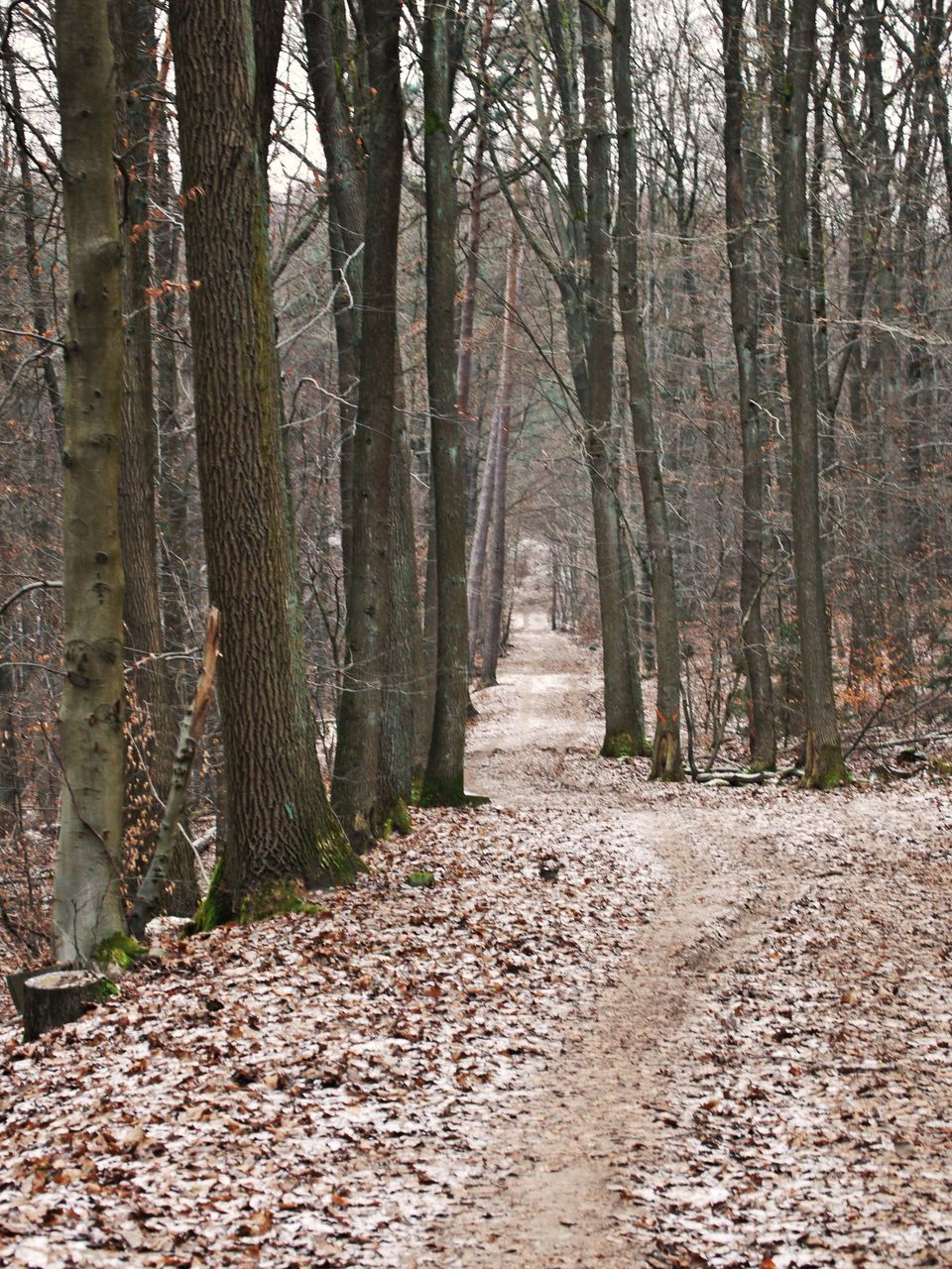 forest, tree trunk, nature, tree, tranquility, outdoors, the way forward, day, autumn, no people, beauty in nature, scenics