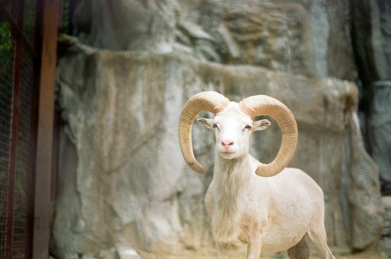 Beautiful stock photos of goat, Animal Themes, Animals In Captivity, Day, Goat