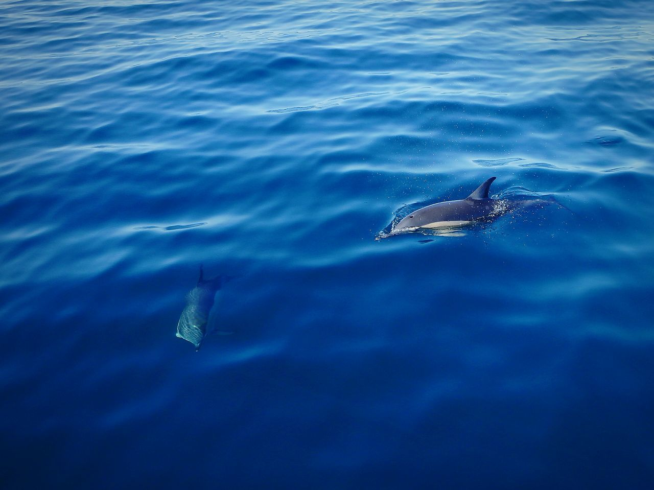 Beautiful stock photos of dolphins, Animal Themes, Animals In The Wild, Blue, Day