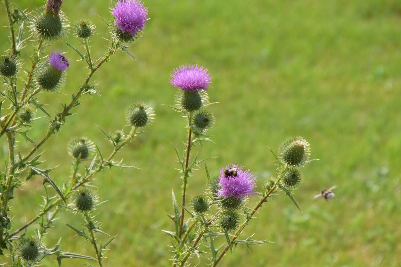 Close-Up Of Thistle Blooming On Field