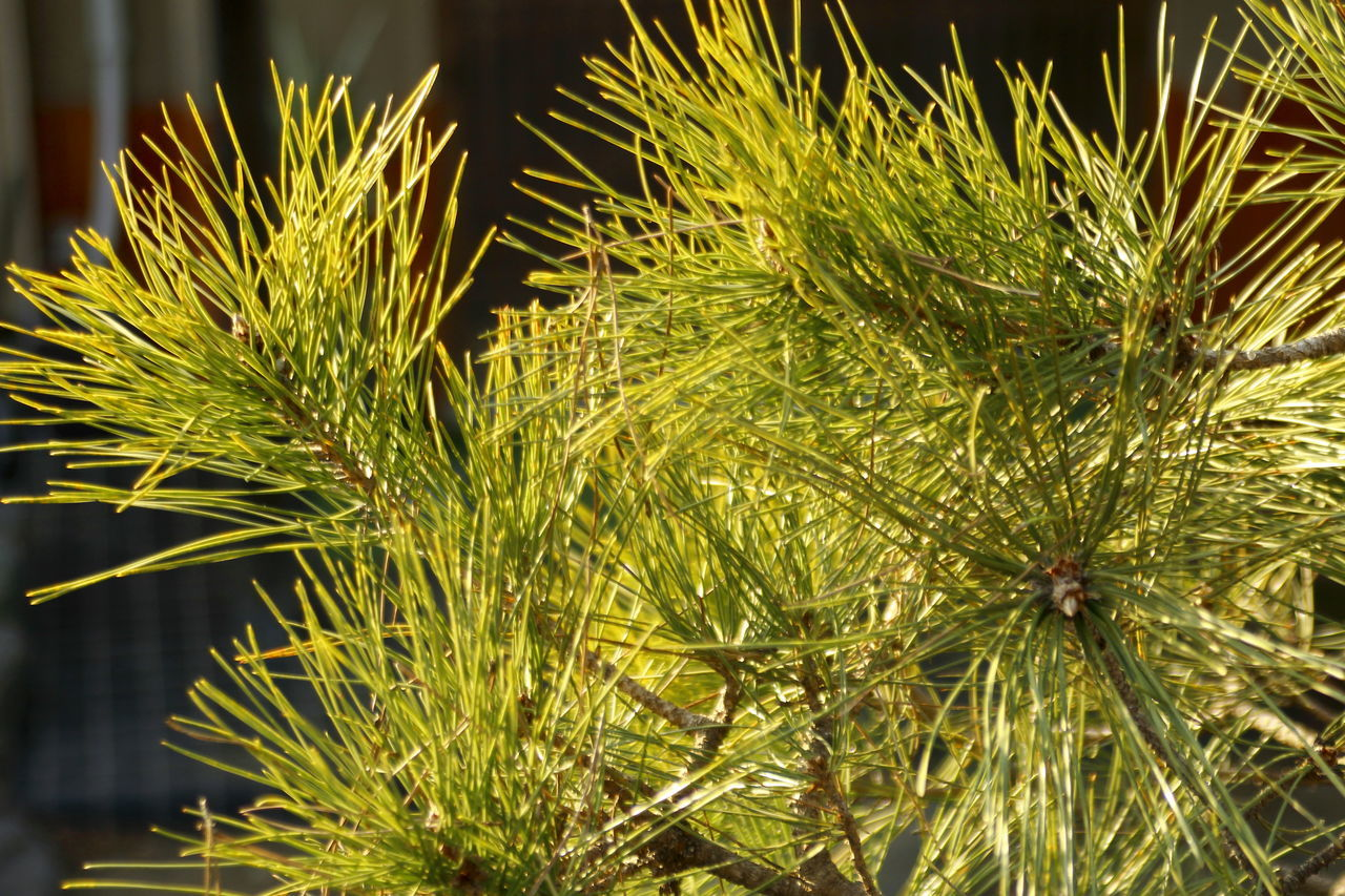 Close-up Conifers Day Green Green Color Growth Nature No People Outdoors Pine Leaves Pine Trees Plant Winter