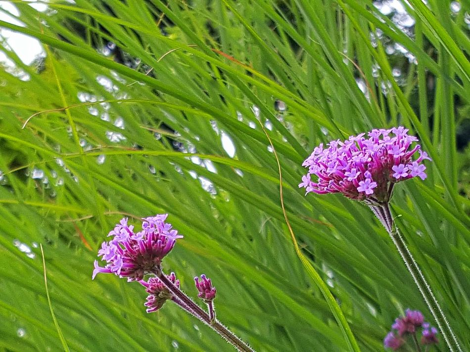 Green Pink Green Grass Pink Flowers Pink Flowers Green Background Pink Flowers Green Grass Beauty In Nature Fragility Garden In Bloom Meditation Freshness Small Flowers Flower Collection Flower Photography Colorful