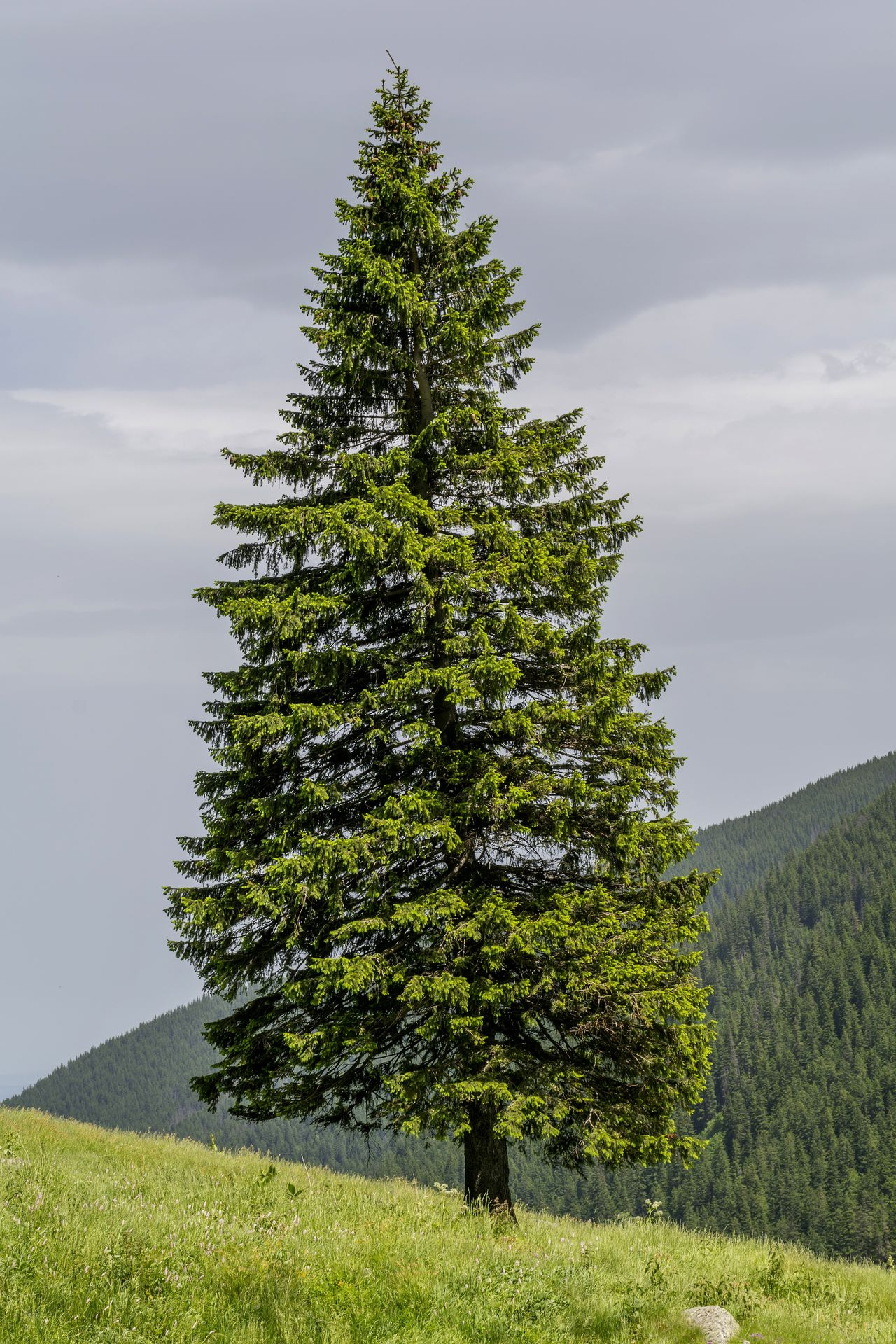 Fir Trees On The Edge Of Slope In Carpathian Mountains Beauty In Nature Biology Carpathian Mountains Cloud - Sky Coniferous Tree Environment Evergreen Field Flora Freshair Grass Green Color Growth Highlands Landscape Nature Outdoors Pinetrees🌲 Scenics Slope Tranquil Scene Virgin Nature Wildlife Wood