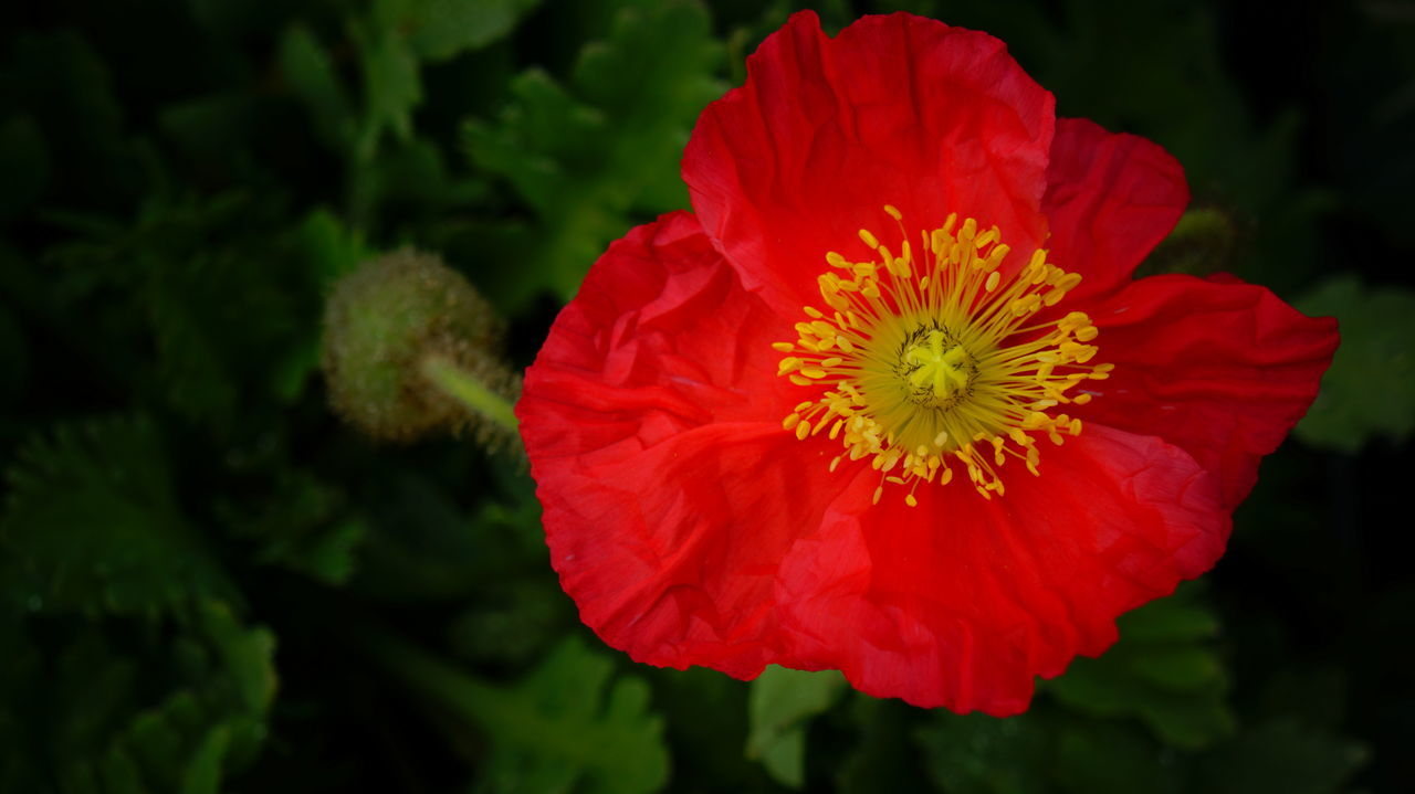 Beauty In Nature Bloom Blooming Blooming Flower Close-up Day Flower Flower Head Fragility Freshness Nature No People Outdoors Petal Plant Pollen Poppy Poppy Flowers Red Red Red Color Red Flower Vibrant Color Yellow Centered Flowers