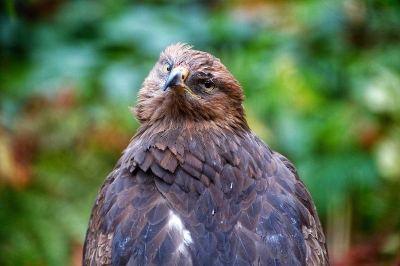 Schreiadler lesser spotted eagle Bird One Animal Animal Themes Bird Of Prey Animals In The Wild Animal Wildlife Focus On Foreground Beak Close-up No People Outdoors Nature Day Feather  Portrait Perching Vulture Schreiadler Lesser Spotted Eagle Hawk - Bird Animals In The Wild Nature Bayerischer Wald Clanga Pomarina Lesser-spotted Eagle
