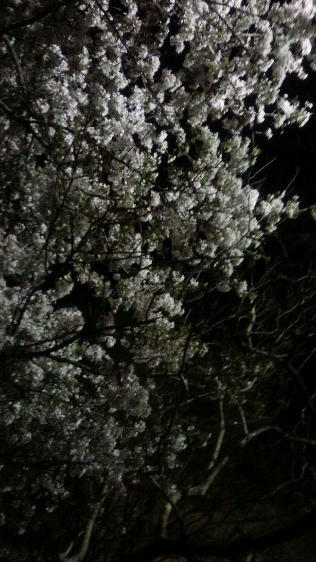 桜が咲いてたよ。寒い………。 サクラ EyeEm Nature Lover EyeEm Japan Love Japan