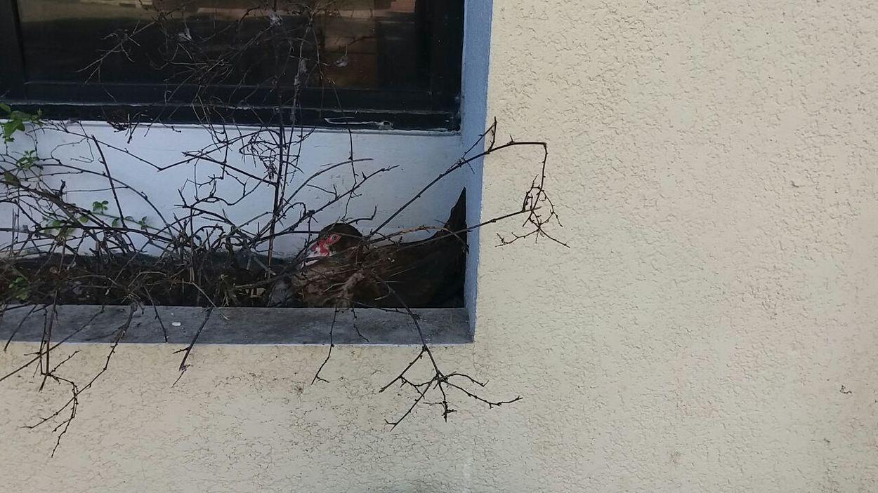 Ducklings hatching (patitos recien nacidos) Animals In The Wild Family❤ Patitos Teléfono Building Exterior Danger Duckling Hobbies