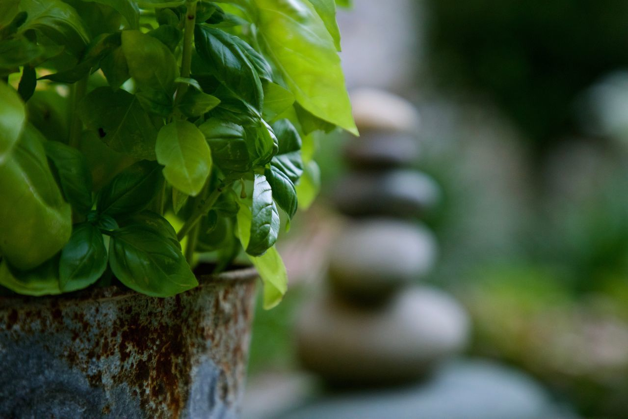 basil Basil Beauty In Nature Close-up Cooking Day Daylight Focus On Foreground Fresh Freshness Garden Green Color Growth Leaf Metal Nature No People Outdoors Plant Rusty Selective Focus Spice Stone Tower Tree