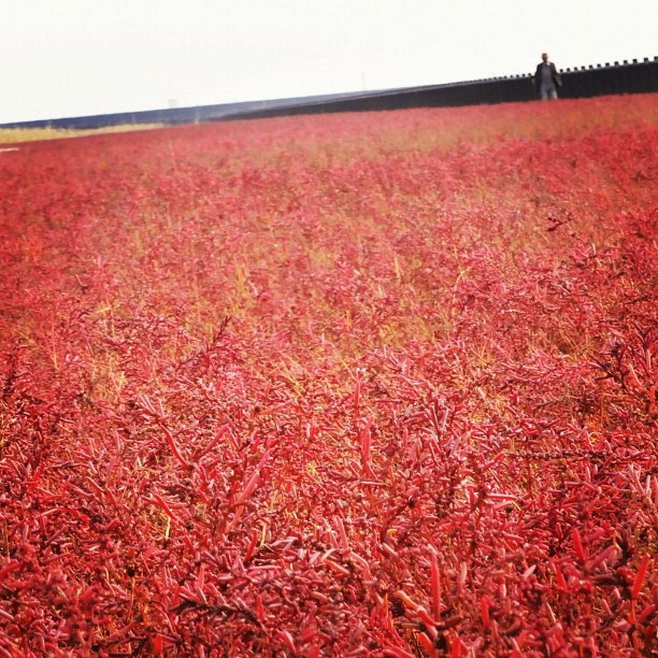 海の紅葉 #シチメンソウ 東与賀海岸 新幹線が落雷停電で遅れてお昼食べれなかったのと、よく頑張ったご褒美にと先生が連れて行ってくれました。めっちゃきれかった!
