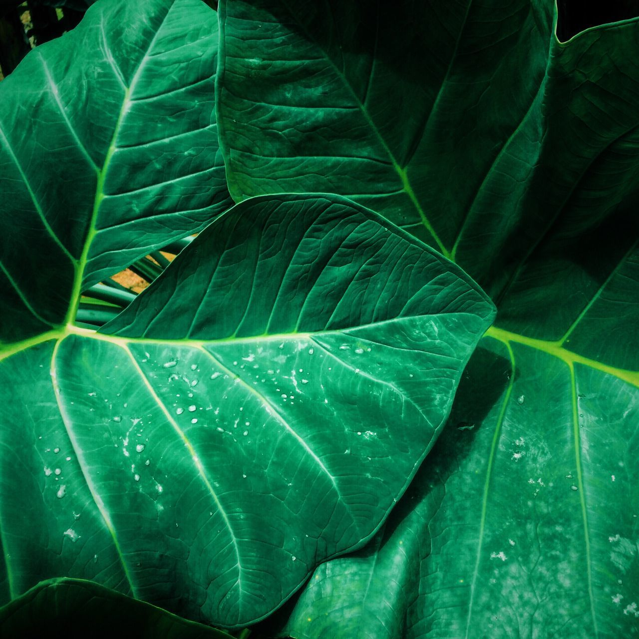 leaf, green color, nature, close-up, no people, day, growth, outdoors, freshness, beauty in nature, banana tree, banana leaf