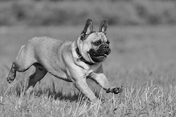 No one do it like me contact in bio! Frenchzone Gonzothunder Frenchzoneonly Frenchielove Crazyfrenchielovers Frenchbulldog Frenchbulldogs Frenchie Frenchies Doggie Dogs Buldogfrancuski Bulwa