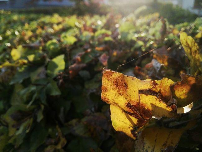 Golden Leaf Focused On Foreground Focused Lichtspiel Der Seidene Faden Herbstfärbung Natural Structure Struktur Structures & Lines Patterns In Nature