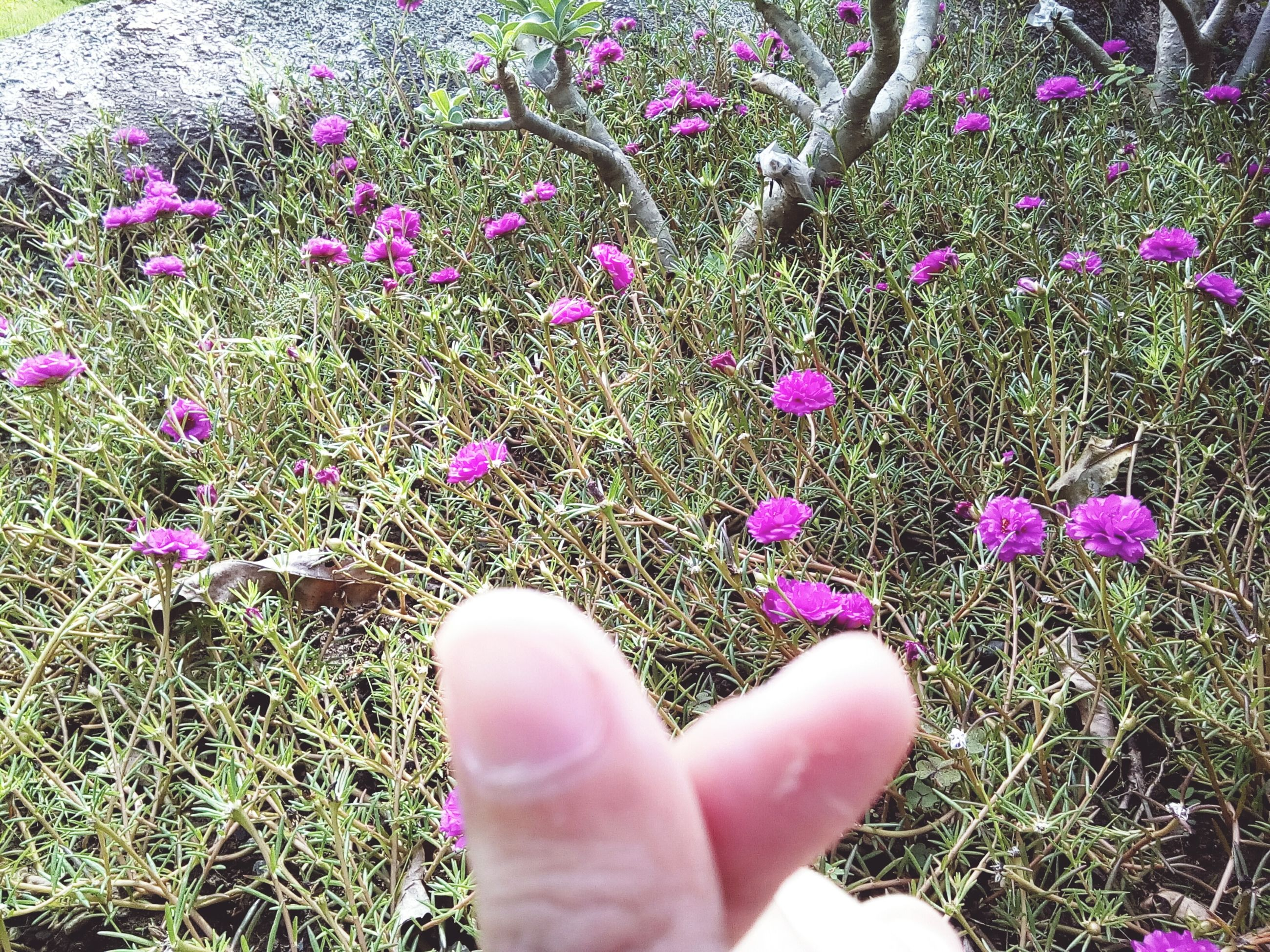 flower, human body part, one person, day, real people, pink color, nature, human hand, plant, high angle view, outdoors, growth, beauty in nature, fragility, grass, close-up, flower head, freshness, people