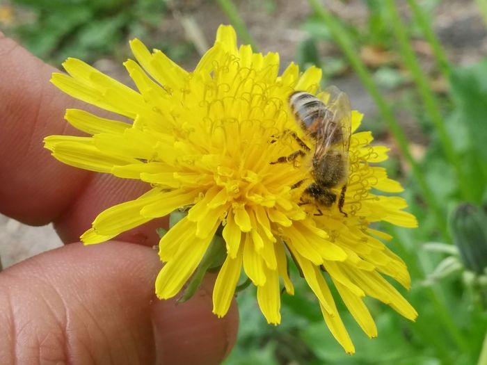 ✨🌞🐝head down, bum up!🌞✨🐝 Brangwen Petal Pollination Symbiotic Relationship Pollen Growth Close-up Beauty In Nature Nature Fragility Flower Blooming 2017 Summer Fingernail Human Body Part Human Hand People Good Afternoon! Macro Photography Dandelions Focus On Foreground Yellow Insect Bees And Dandelions Dandelion