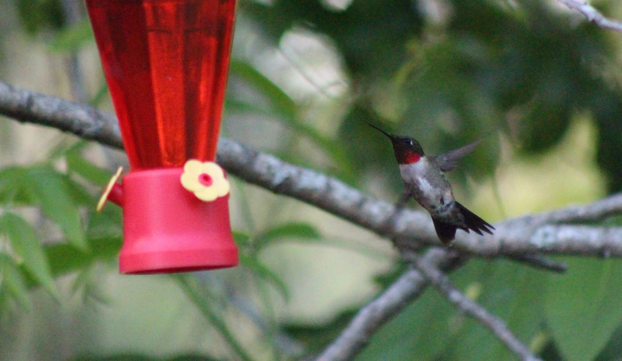 Hummingbird Bird Photography Ornithology  Birdwatching Ruby-throated Hummingbird Archilochus Colubris Male Bird God's Beauty Beautiful Nature Backyard