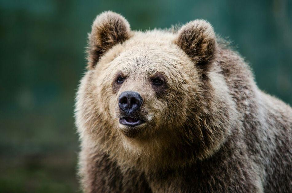 Beautiful stock photos of bear, Animal Body Part, Animal Head, Animal Themes, Animals In The Wild
