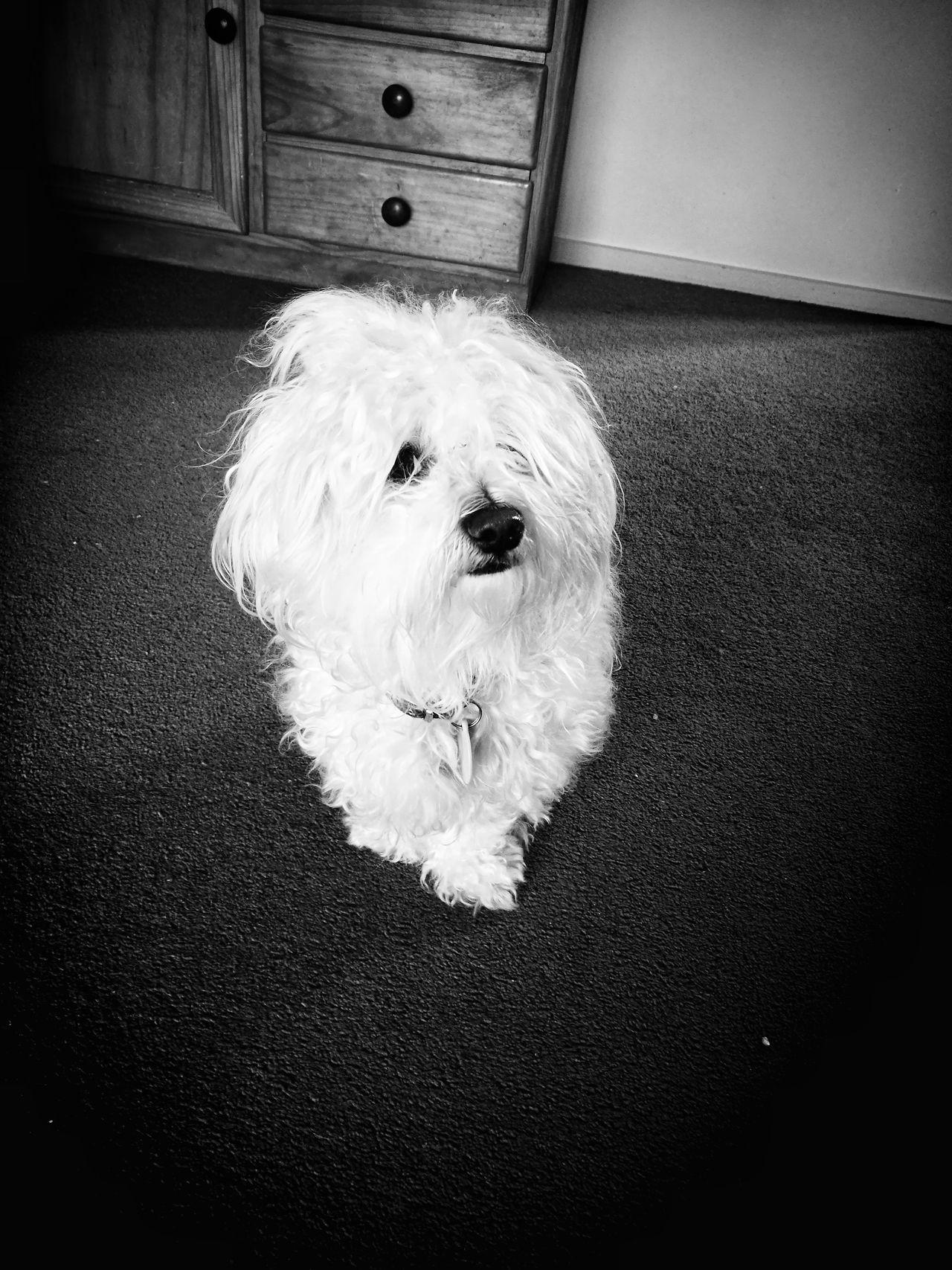 Rosita, my pet model. (Rosita, mi mascota modelo). Dog Pets Indoors  Portrait Maltese Black & White Modelling Perrita  Mascotas En Casa Retrato Maltes Blanco & Negro  Modelando The Portraitist - 2017 EyeEm Awards BYOPaper!