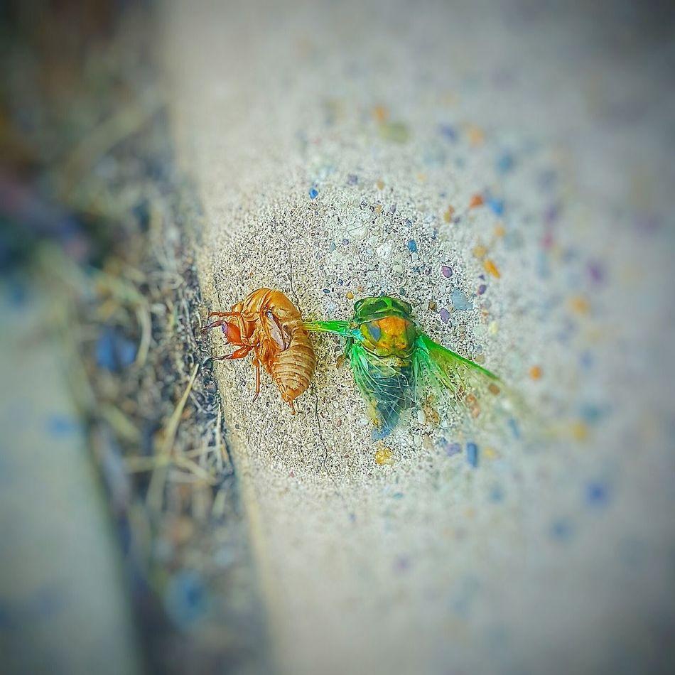 Hidden Gems  Eyemphotography Samsung Galaxy S6 Edge Androidography Popular Photos EyeEm Gallery EyeEm Best Shots Eye Em Best Shots Bug Bugslife Bug Portrait Bug Life Itsabugslife Cicada Cicada Shell Cicadas Shell Insect Exoskeleton Shedding Nature Wildlife Eyeemphotography Two Is Better Than One Life