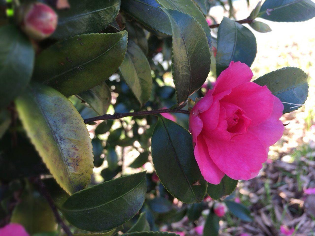 Kyoto December Kyoto City Kyoto Japan Camellia Sasanqua