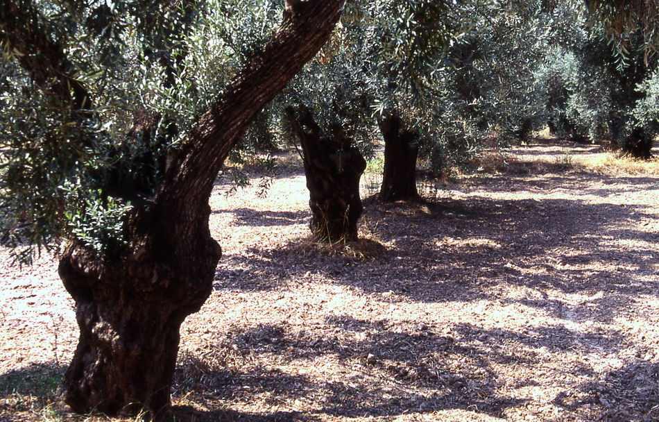 greek oloives Beauty In Nature Day Grass Greek Olives Growth Landscape Nature No People Olive Plantation Olive Trees Outdoors Sand Scenics Shadow Sunlight Tranquil Scene Tranquility Tree Tree Trunk
