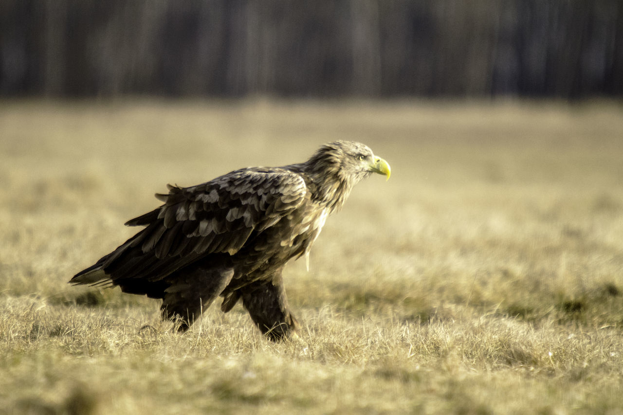 Animal Wildlife Best  Bird Bird Of Prey Eagle Hungary Nature Nature One Animal Oroszphotography Predator Wildlife & Nature