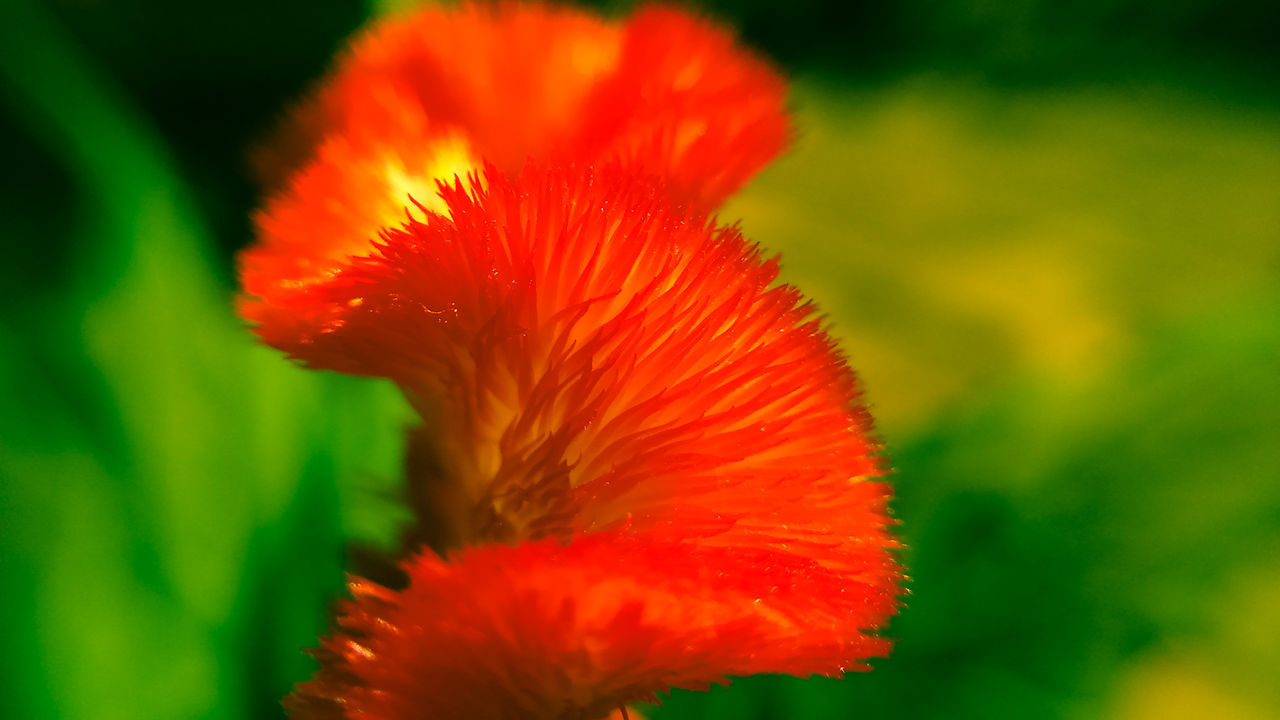 flower, fragility, flower head, beauty in nature, red, petal, nature, close-up, growth, freshness, plant, selective focus, no people, vibrant color, blooming, poppy, hibiscus, day, outdoors, springtime