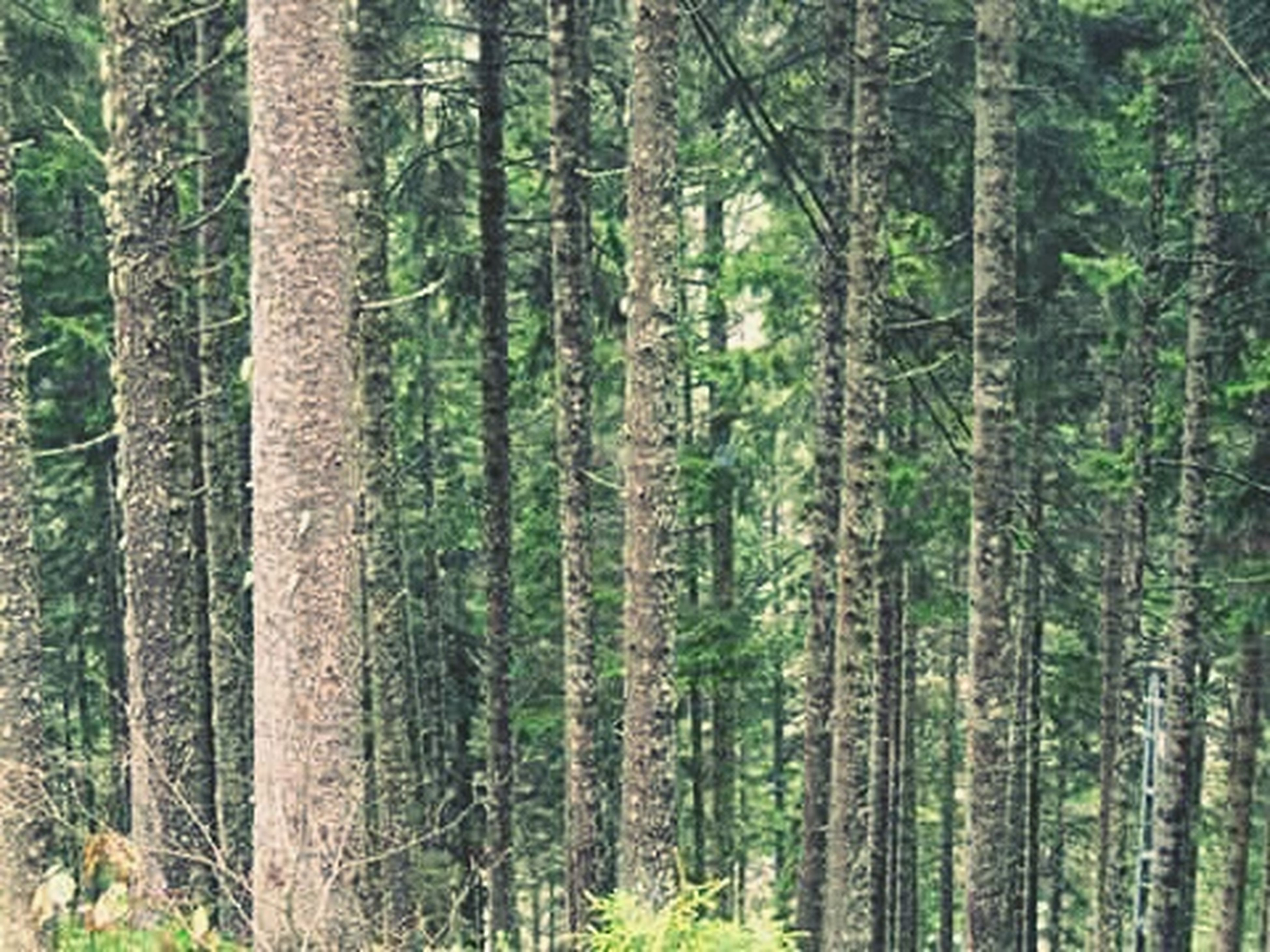 tree, forest, woodland, tree trunk, tranquility, growth, nature, tranquil scene, beauty in nature, scenics, green color, non-urban scene, abundance, woods, lush foliage, day, landscape, branch, outdoors, no people