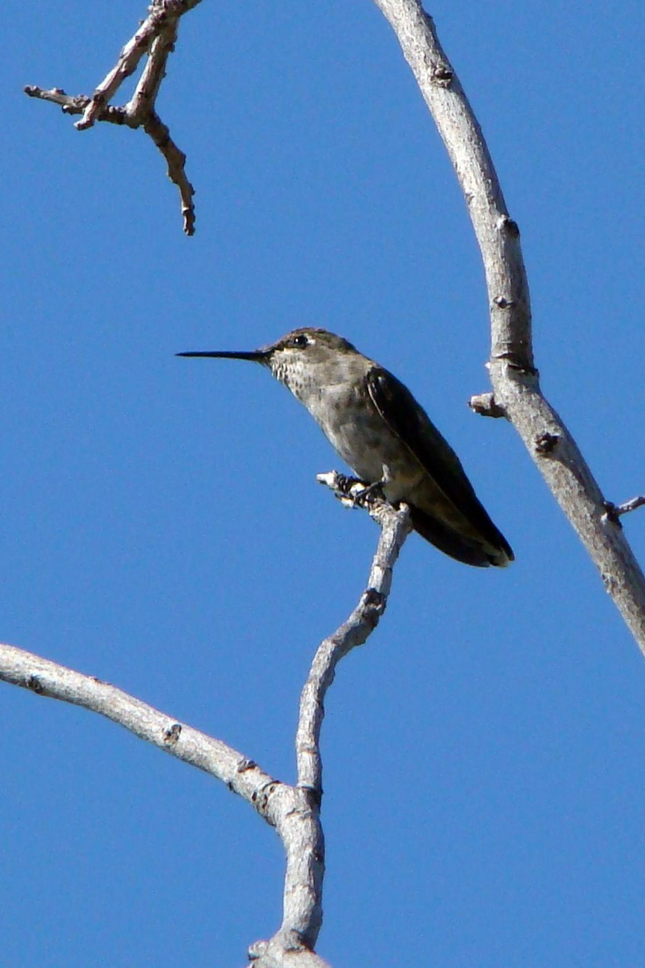 The Purist (no Edit, No Filter) Hummingbird Birdwatching