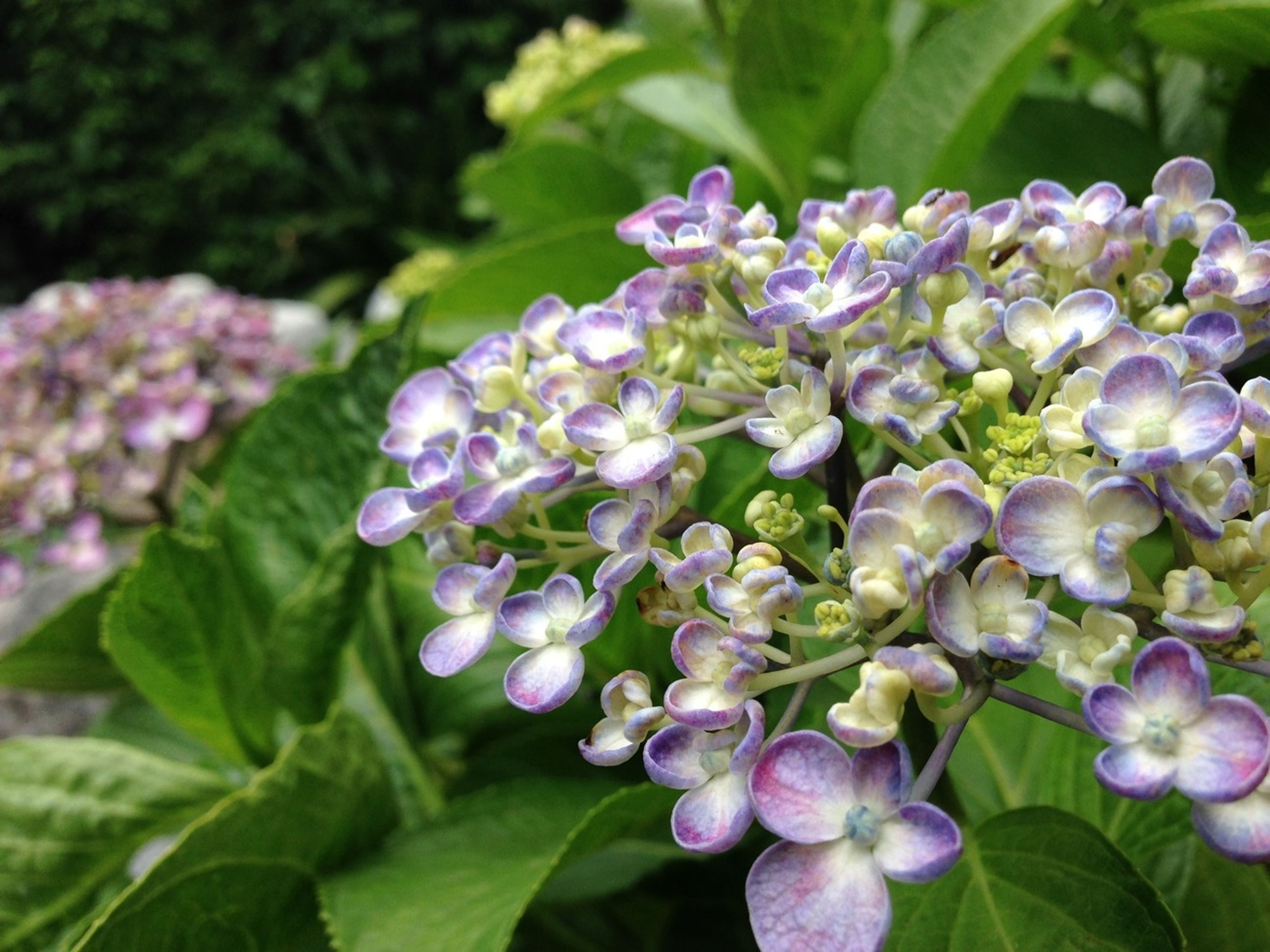 flower, freshness, purple, growth, fragility, petal, beauty in nature, plant, flower head, close-up, blooming, nature, leaf, focus on foreground, in bloom, park - man made space, green color, hydrangea, outdoors, selective focus