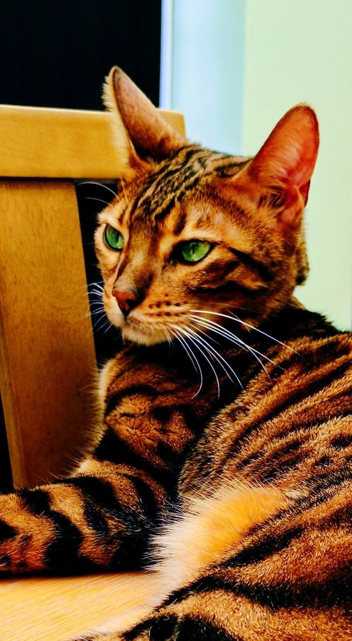 domestic cat, one animal, animal themes, pets, domestic animals, mammal, feline, indoors, cat, sitting, whisker, no people, home interior, close-up, day, portrait