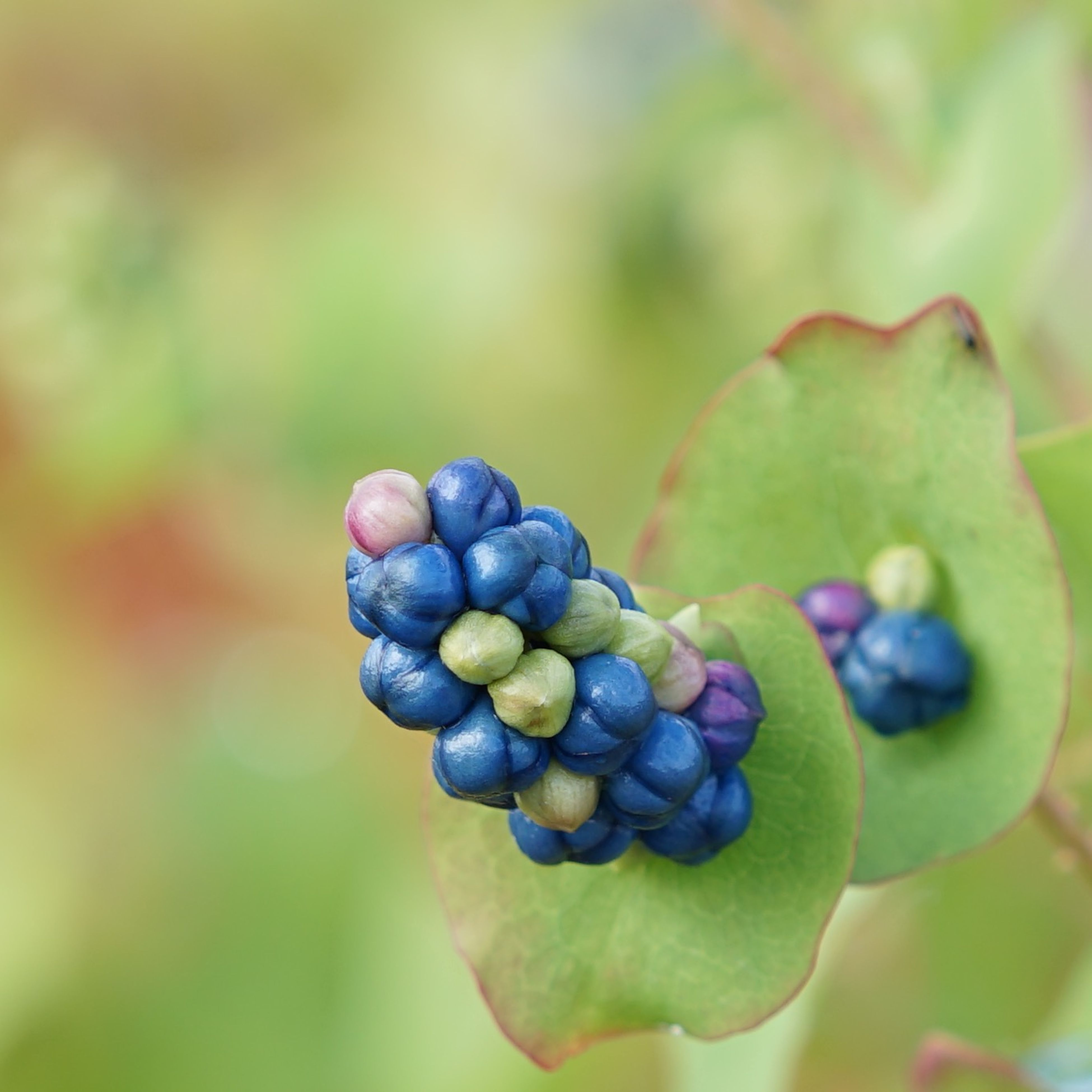 food and drink, freshness, fruit, food, healthy eating, close-up, focus on foreground, growth, grape, selective focus, blue, bunch, green color, ripe, nature, purple, no people, organic, berry fruit, abundance