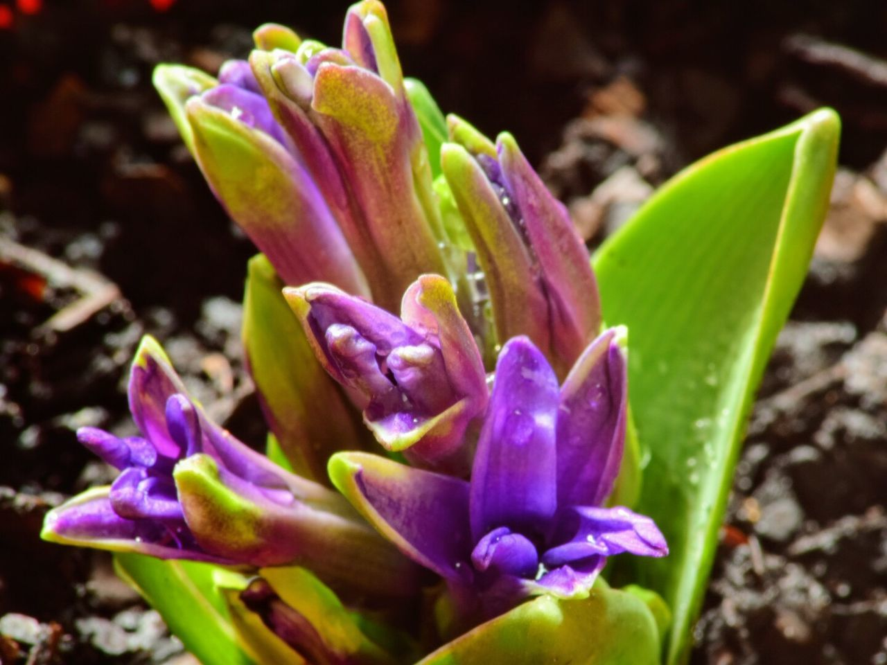 Flower Beauty In Nature Nature Growth Freshness Fragility Purple Close-up Petal Focus On Foreground Blooming Outdoors Spring Photography Springtime Spring Colours Nature_collection Plant Freshness Leaf Beauty In Nature Nature Growth Green Color Blossom Nature Photography