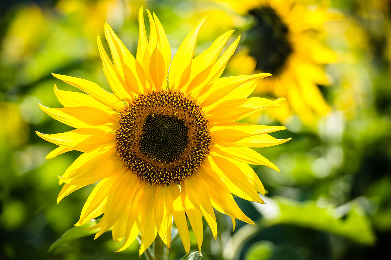 Beautiful stock photos of sunflower, Beauty In Nature, Blooming, Close-Up, Day