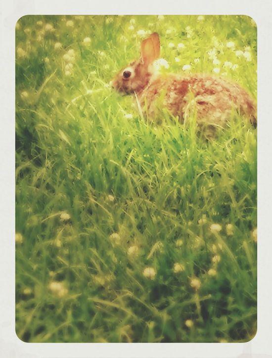 Rabbit Michigan Wild Hare Wild Rabbit Sitting In The Grass Waiting Clover Field Nature Photography Rabbit