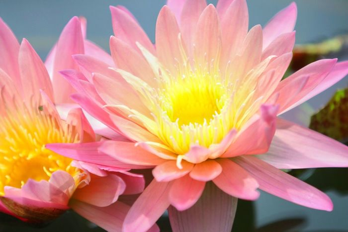 Flower Petal Fragility Flower Head Beauty In Nature Freshness Nature Pink Color Close-up No People Blooming Growth Yellow Day Pollen Stamen Outdoors Plant Springtime Macro