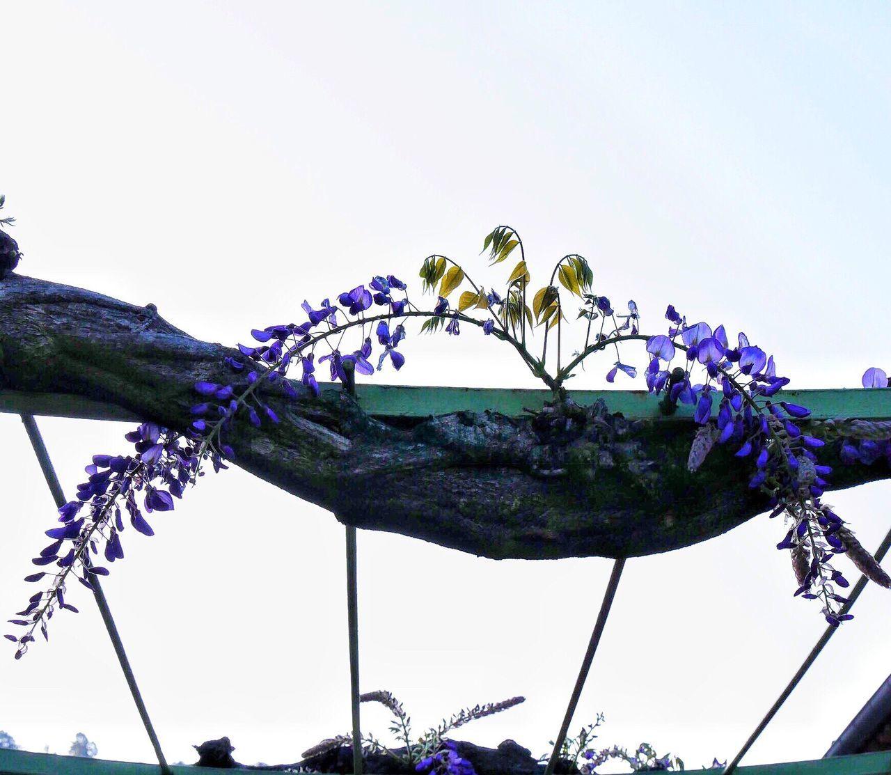 Glycine Pergola Flowers Springtime Spring Wisteria Wisteria Flowers Wisteria Trellis