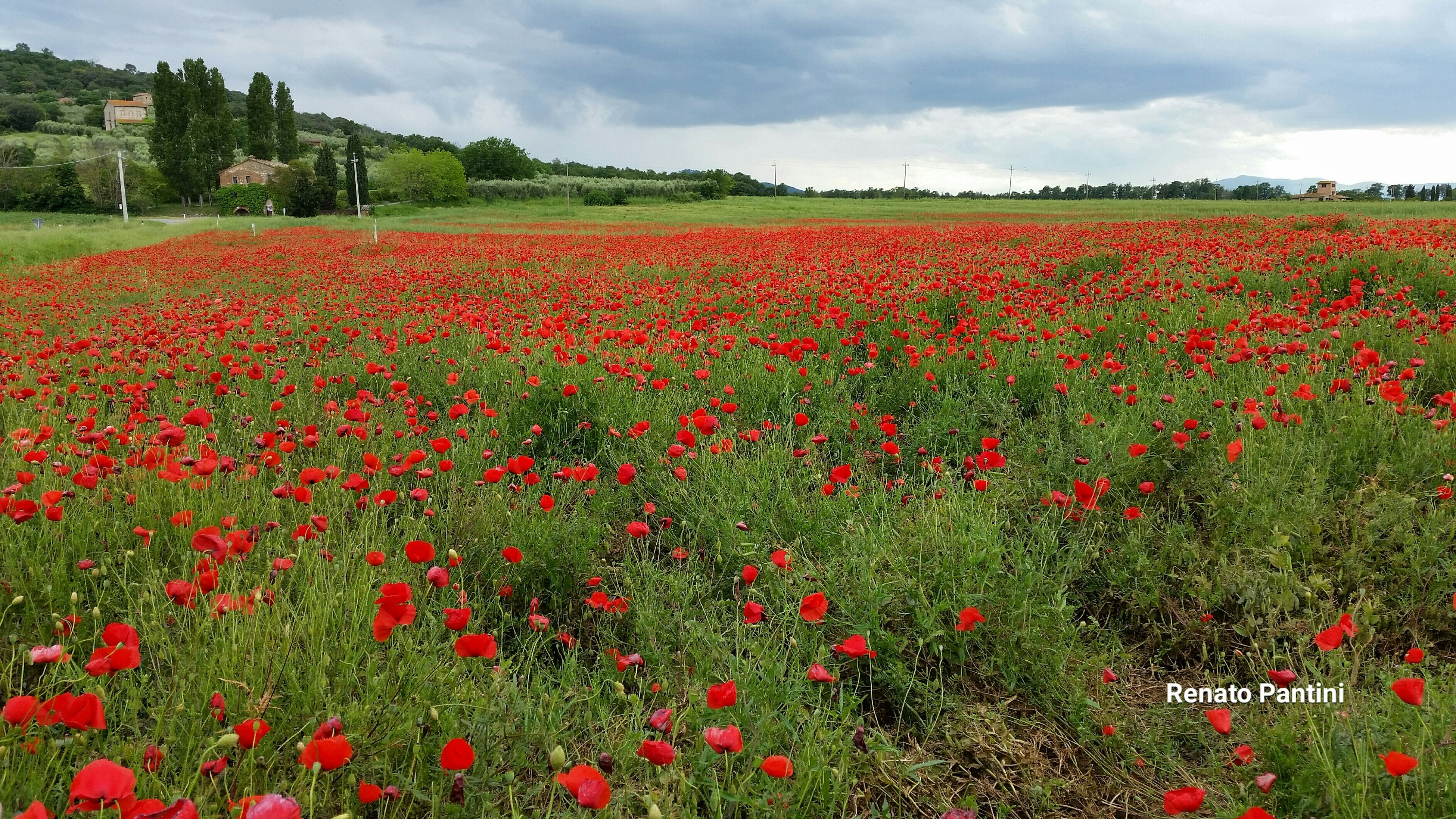 flower, freshness, growth, beauty in nature, red, field, fragility, nature, poppy, blooming, sky, abundance, plant, cloud - sky, landscape, petal, flowerbed, tranquil scene, scenics, tranquility