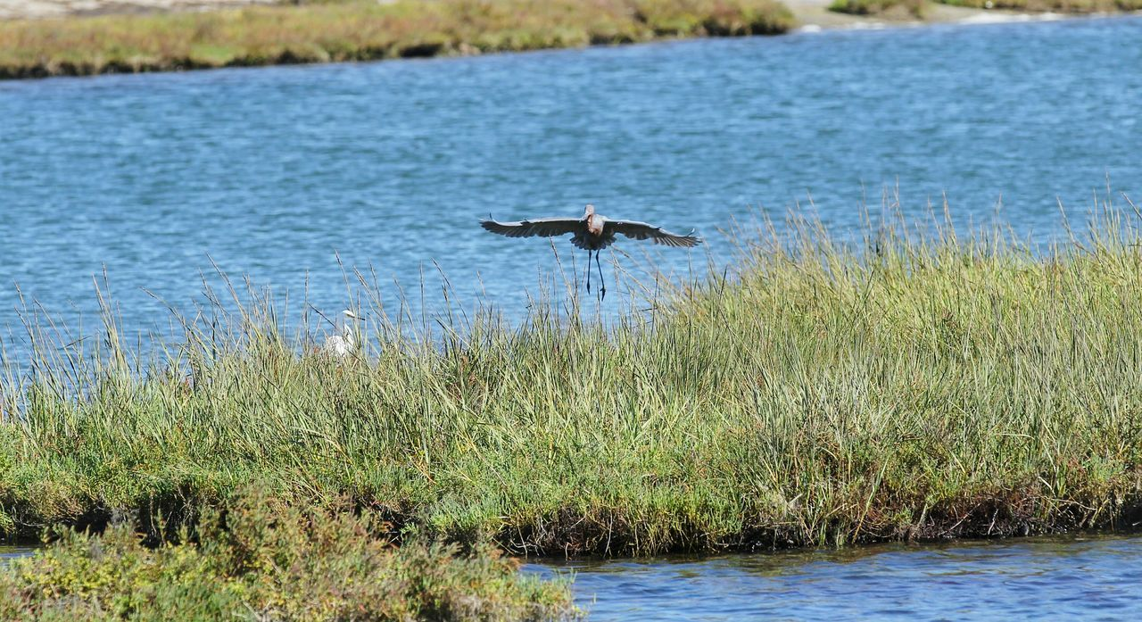 Swooping In For A Landing Flying Bird Wildlife Crane Birds Water Birds Mid-air Waterfront Wetlands Animals In The Wild Spread Wings From My Point Of View Photography Is My Escape From Reality! Eye4photograghy Eyeemphotography Animal Photography Bird Photography ForTheLoveOfPhotography Eyeem Market Perspective Beauty In Nature EyeEm