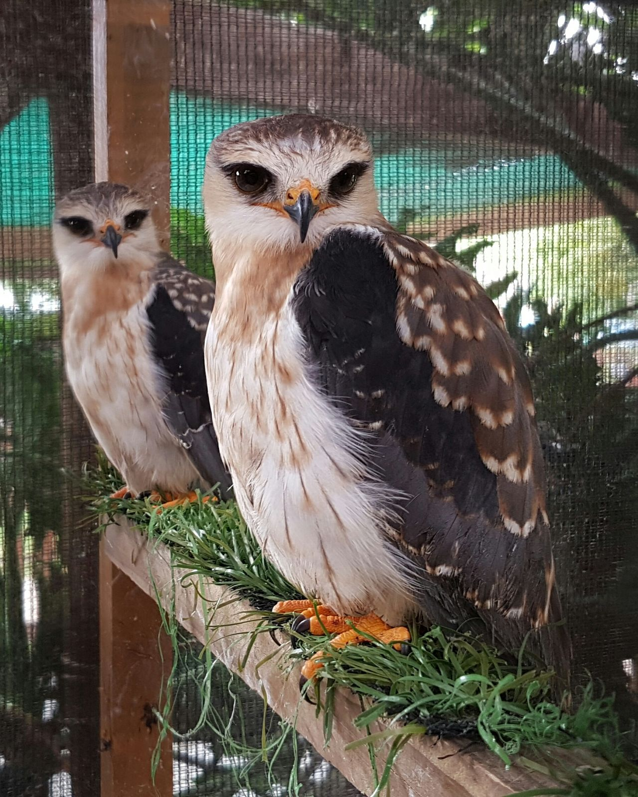 Animal Themes Bird Animals In Captivity No People Animals In The Wild Animal Wildlife Nature Cage Tree Day Mammal Perching Zoo Outdoors Beauty In Nature Rescued ❤ Raptors