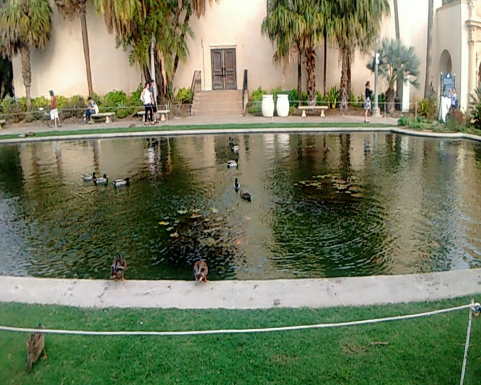 As you all can see I took so many pictures I don't know what to do with myself at Balboa Park San Diego California 10/16 Lake Travel Destinations Yokohama Friendship Beauty In Nature Travel Photography Beautiful Popular Animal Wildlife Animal Themes Nature Duck Swimming Animals In The Wild Trees Tourism History Historic Tranquility Amazing EyeEm Best Shots