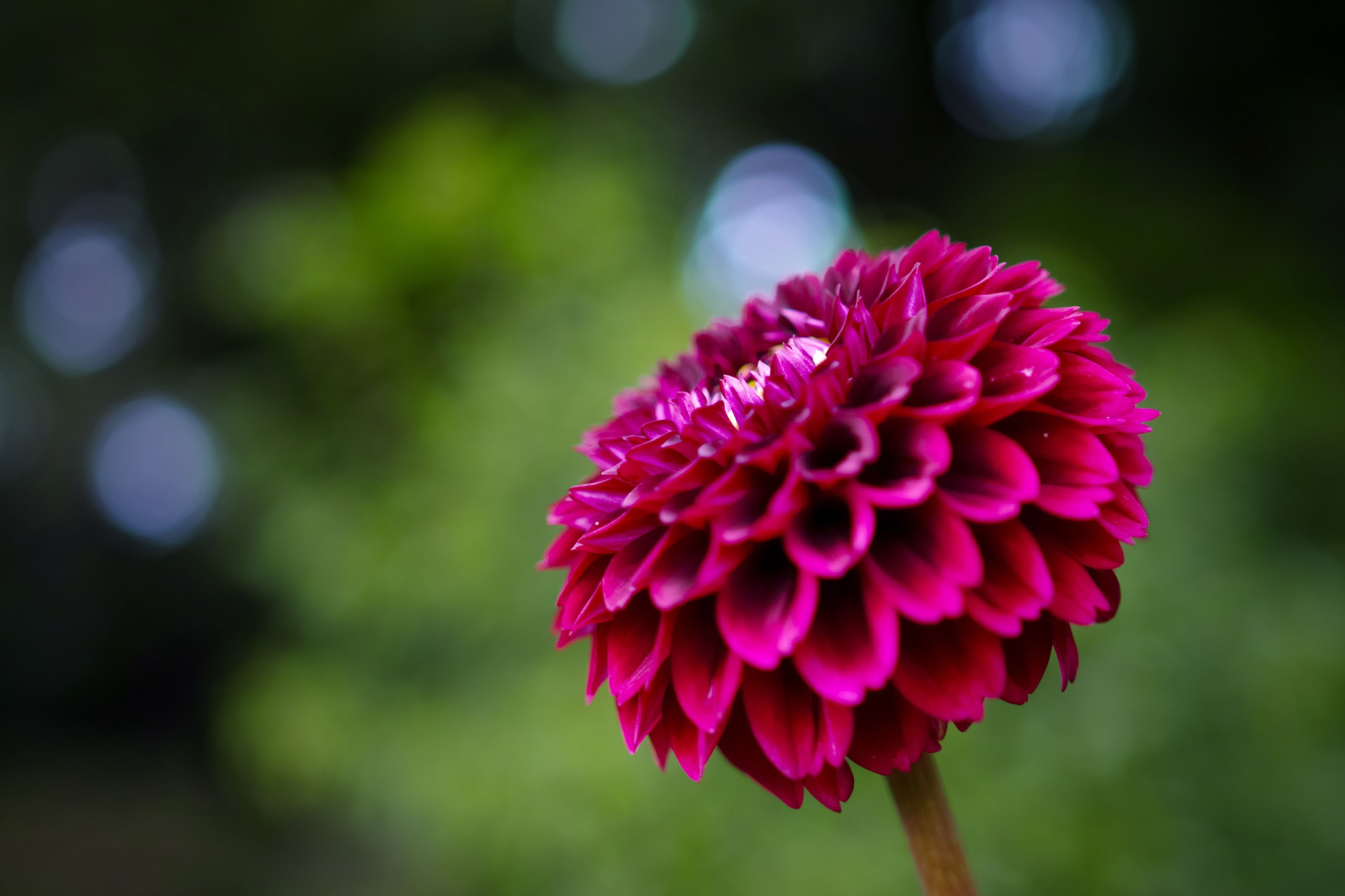 flower, beauty in nature, nature, fragility, petal, focus on foreground, freshness, growth, flower head, no people, pink color, blooming, close-up, day, outdoors, zinnia