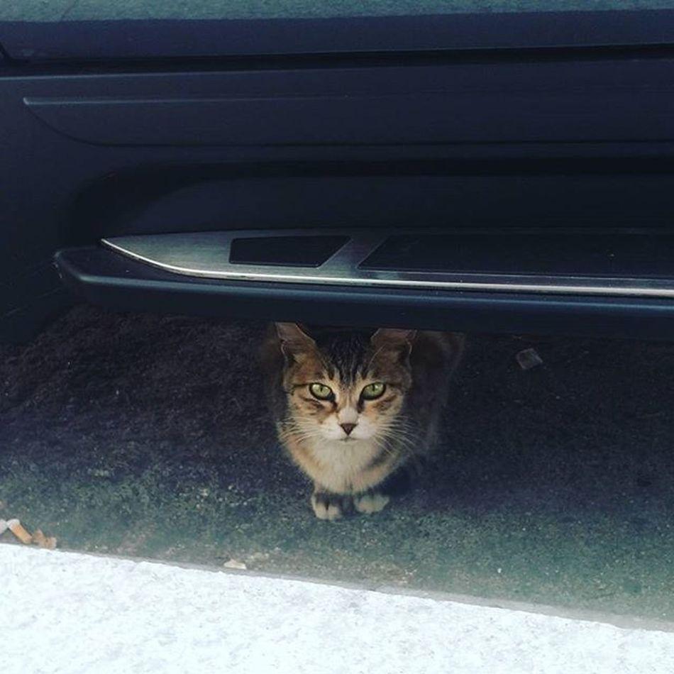 君はいつもそこにいるね。 너는 항상 거기 있네. 猫 猫ちゃん ねこ ねこ 野良 ノラ猫 車 下 暖かい ? 丸くなる いづも そこにいる かわいい しましま トラくん 今度 何か奢ってあげよう 若者よ若いうちに愉しむべし