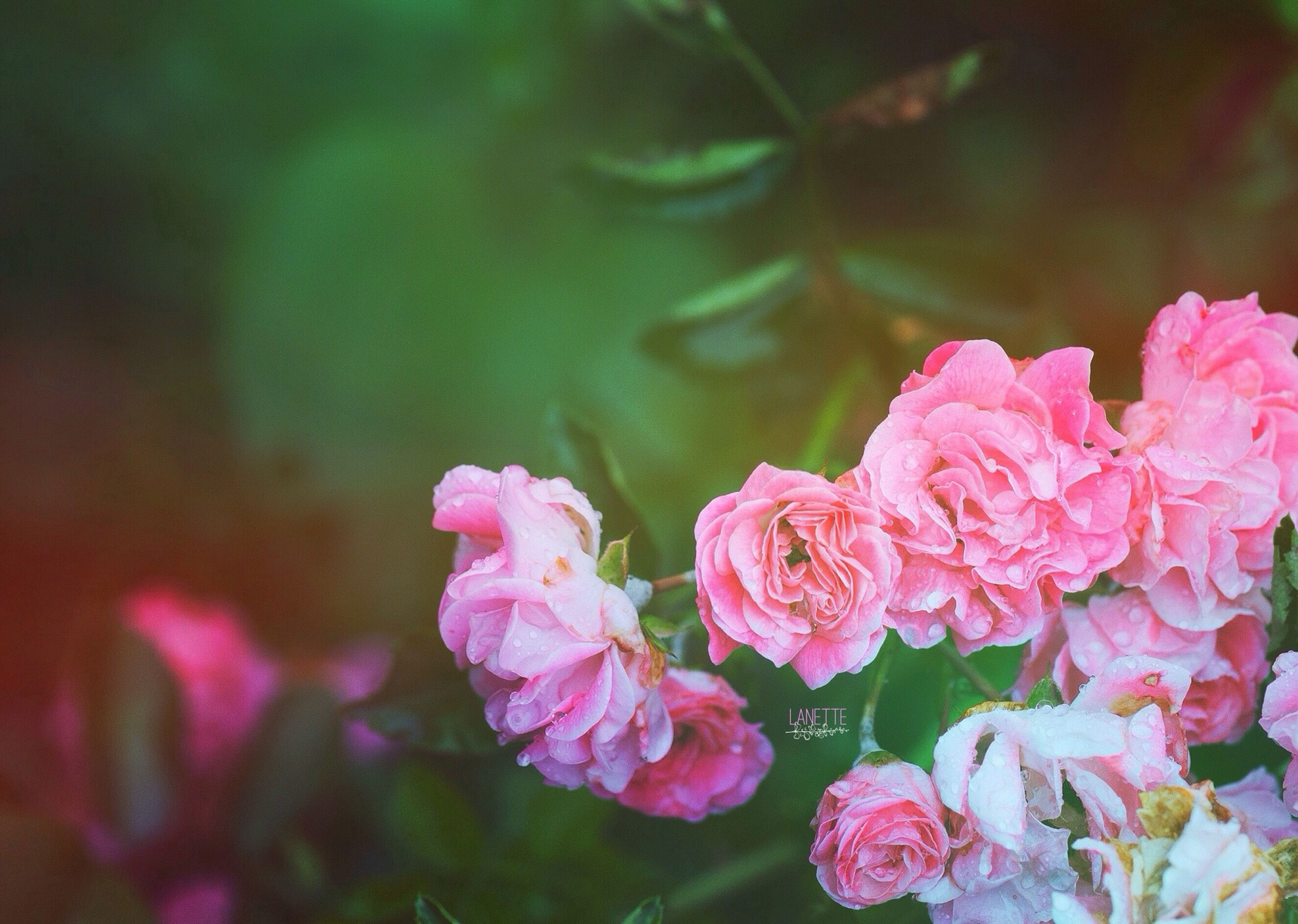 flower, petal, fragility, freshness, flower head, pink color, growth, beauty in nature, close-up, focus on foreground, blooming, nature, plant, rose - flower, in bloom, selective focus, pink, park - man made space, blossom, outdoors