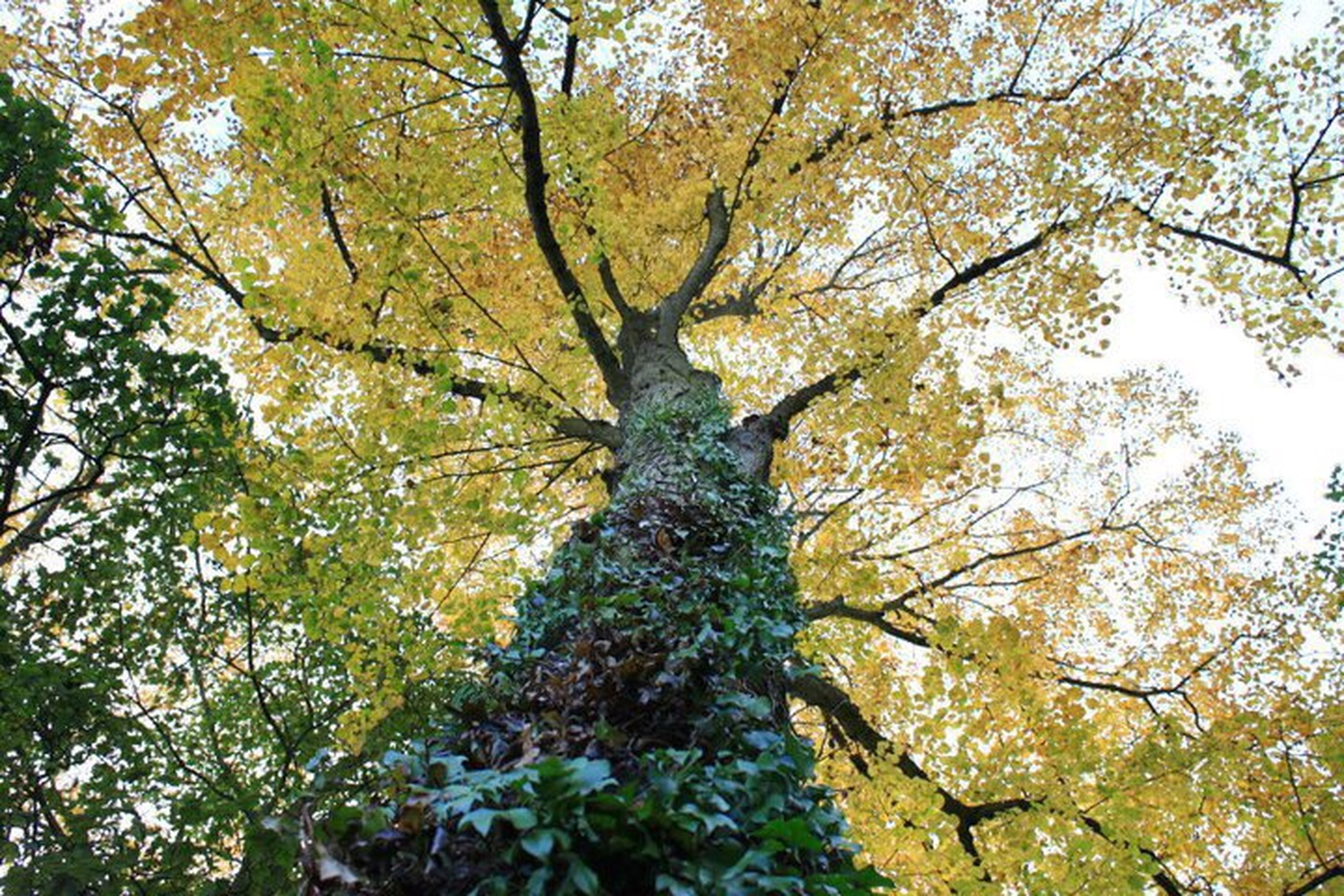 tree, low angle view, branch, growth, tree trunk, nature, scenics, green color, beauty in nature, day, single tree, tranquility, outdoors, sky, tranquil scene, freshness, green, no people, full frame, tree canopy, botany, vibrant color, tall