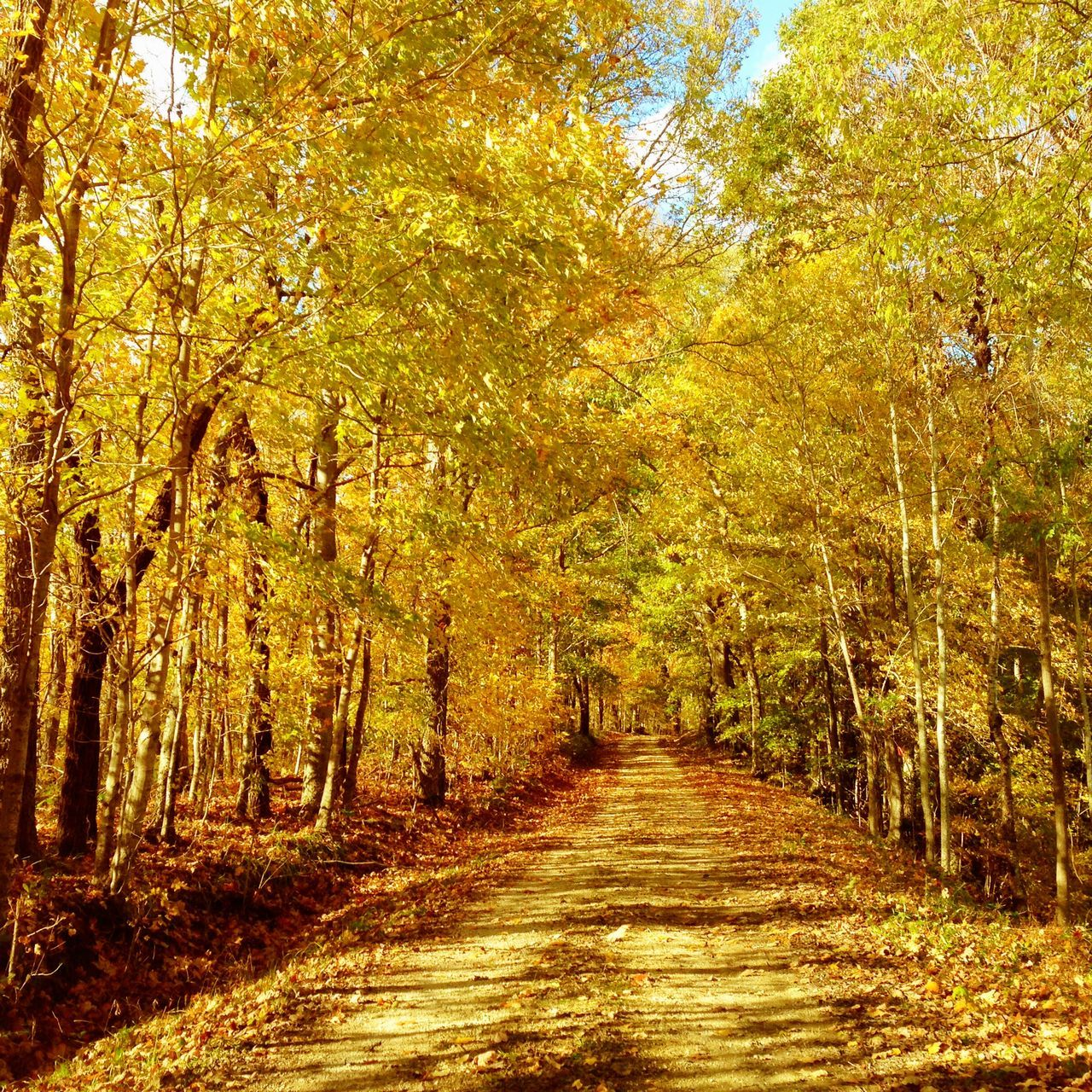 Happy Thanksgiving Happy Thanksgiving EyeEm Nature Lover EyeEm Best Shots Colors Of Autumn Vanishing Point Trees Dirt Road Rural Scenes Autumn Nature Beauty In Nature Yellow Color Yellow Leaves The Way Forward Tranquil Scene No People